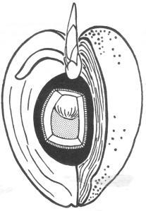 Grohmann 189 kokosnoot