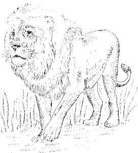 dierkunde leeuw 1