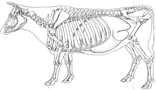 dierkunde koe kranich 5