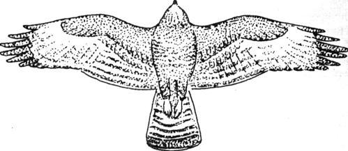 dierkunde buizerd adelaar 1