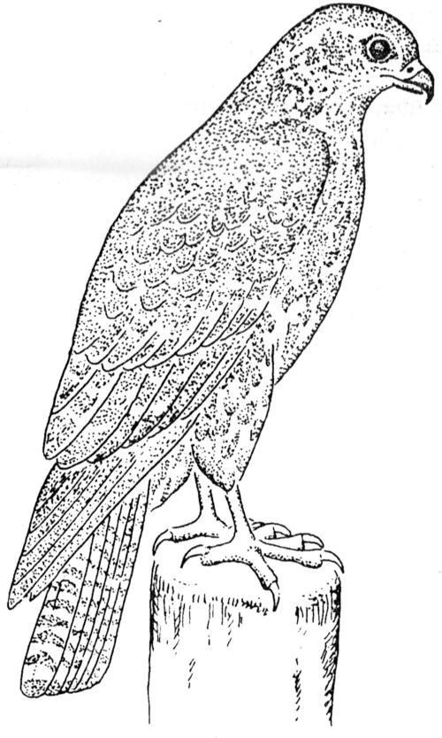 dierkunde buizerd adelaar 4