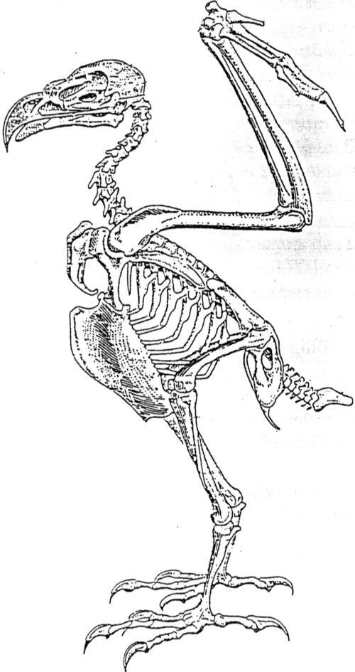 dierkunde buizerd adelaar 5